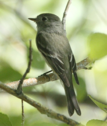 Hammond's Flycatcher photo #2