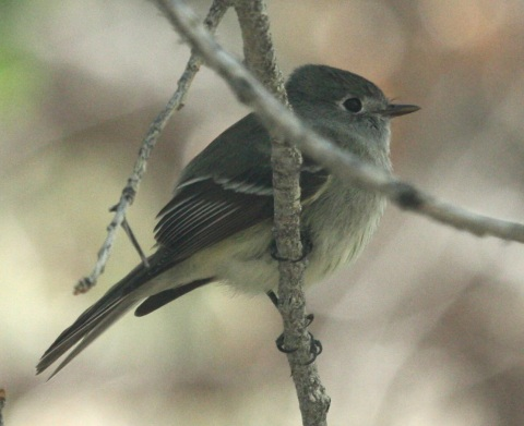 Hammond's Flycatcher photo #1