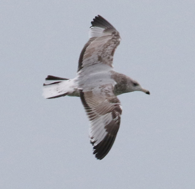 Herring Gull (second cycle in flight)