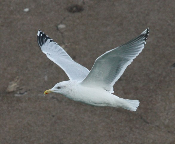 Herring Gull (adult with very limited black in the primaries)