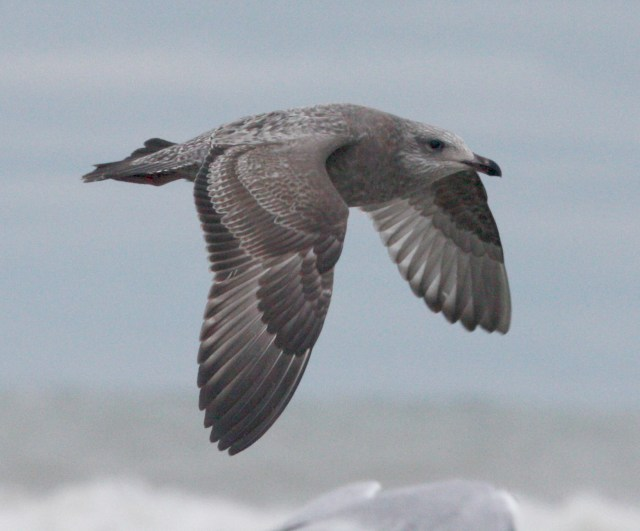 Herring Gull (first cycle in flight)