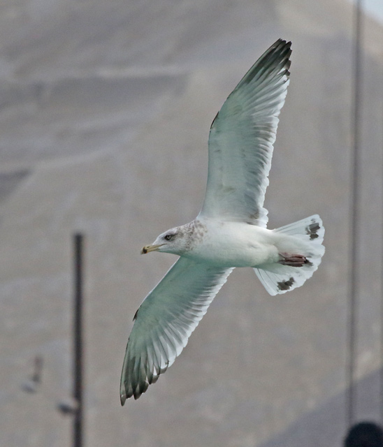 Herring Gull (third cycle in flight)