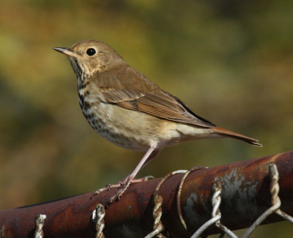 Hermit Thrush photo #1