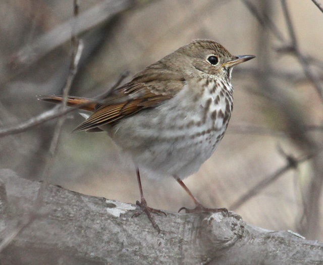 Hermit Thrush photo #5