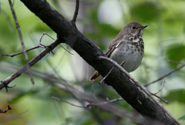 Hermit Thrush photo #2