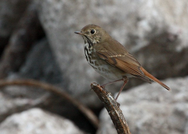 Hermit Thrush photo #3