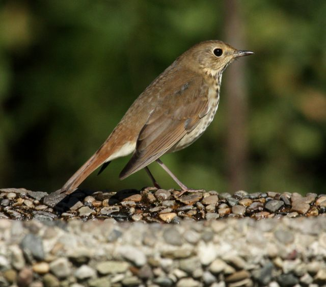 Hermit Thrush photo #4
