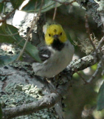 Hermit Warbler (spring adult male) photo #2