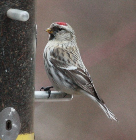 Hoary Redpoll photo 2