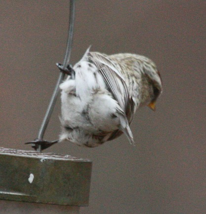 Hoary Redpoll photo 3