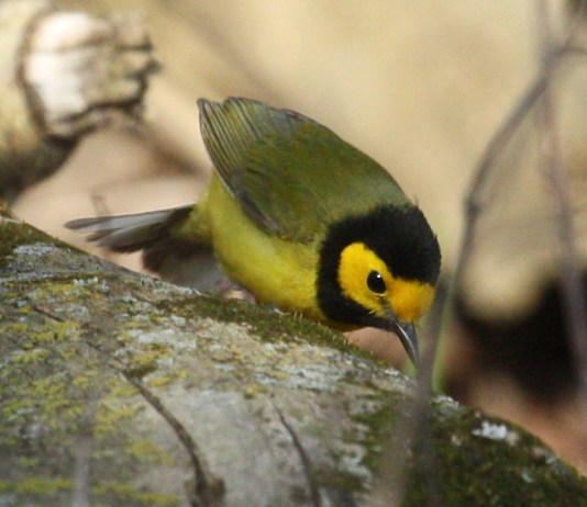 Hooded Warbler photo #3
