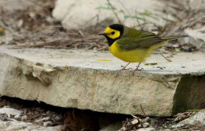 Hooded Warbler photo #5
