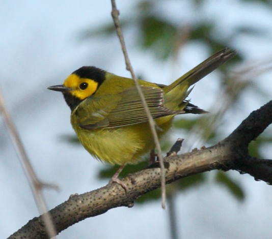 Hooded Warbler photo #2