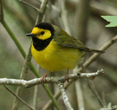 Hooded Warbler photo #4