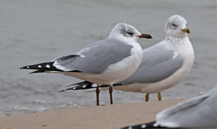 Putative Ring-billed Gull X Laughing Gull hybrid (winter adult) photo #2