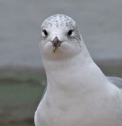 Putative Ring-billed Gull X Laughing Gull hybrid (winter adult) photo #6