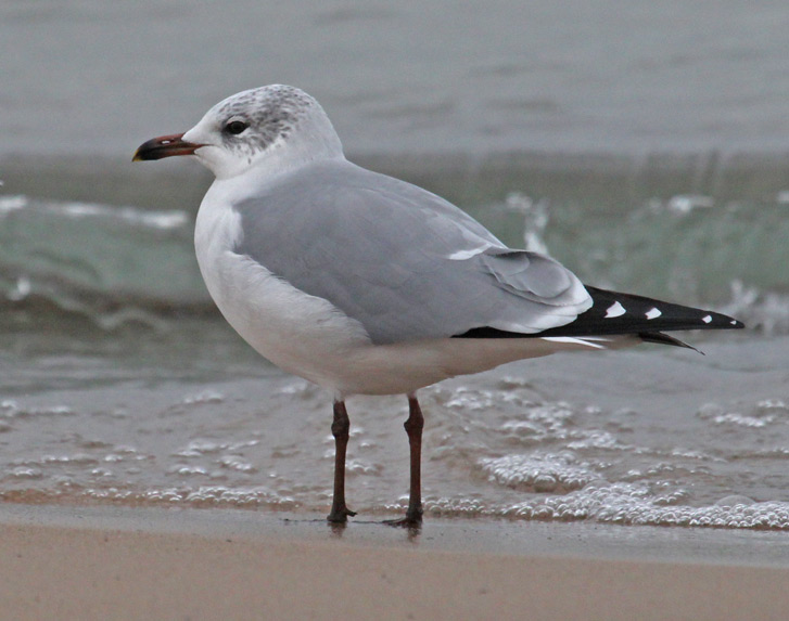 Putative Ring-billed Gull X Laughing Gull hybrid (winter adult) photo #1