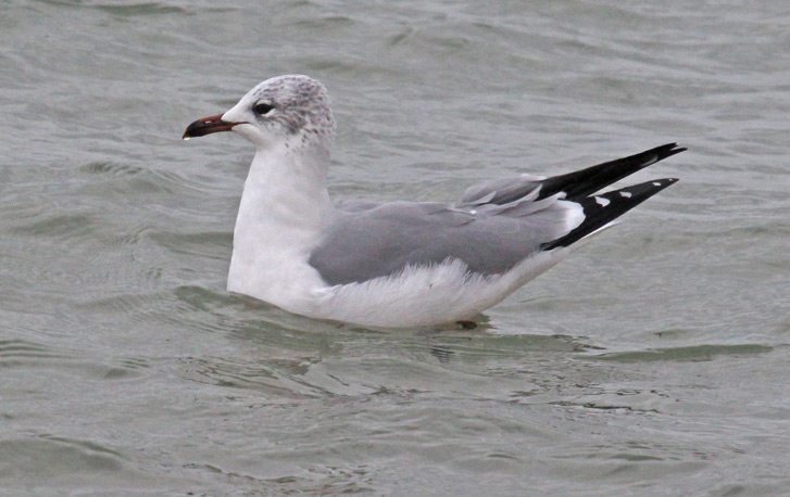Putative Ring-billed Gull X Laughing Gull hybrid (winter adult) photo #7