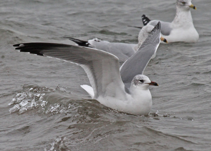Putative Ring-billed Gull X Laughing Gull hybrid (winter adult) photo #4