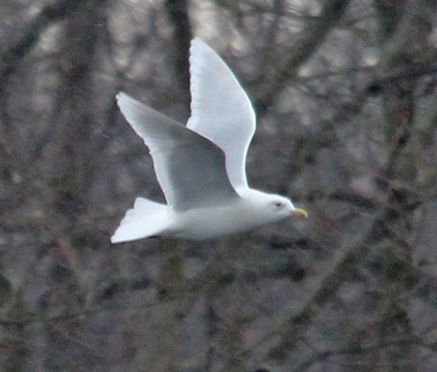 Iceland Gull (adult nominate)