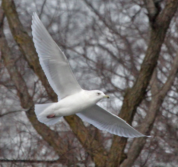 Iceland Gull (3rd cycle in flight)