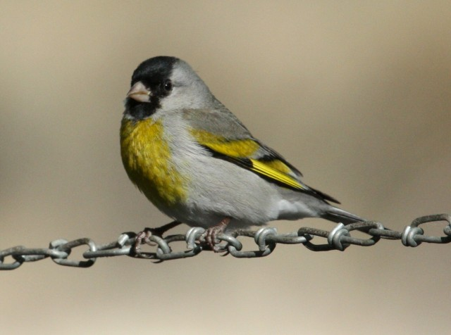 Lawrence's Goldfinch photo #2