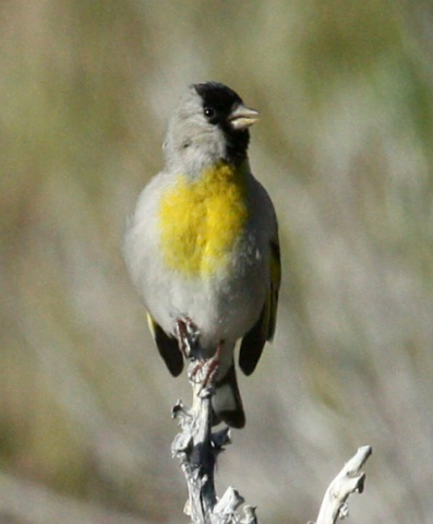 Lawrence's Goldfinch photo #3