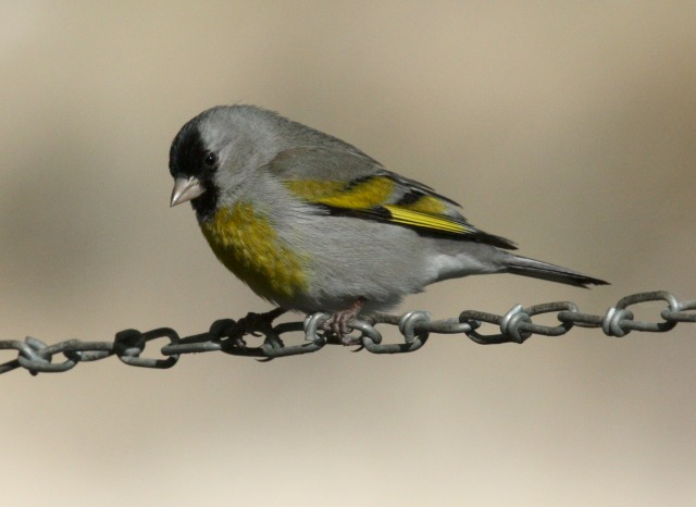 Lawrence's Goldfinch photo #1