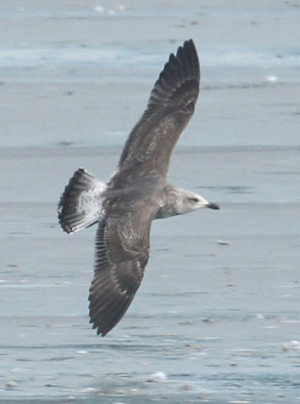 Lesser Black-backed Gull (2nd cycle in flight)