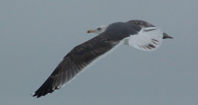 Lesser Black-backed Gull (third cycle in flight)