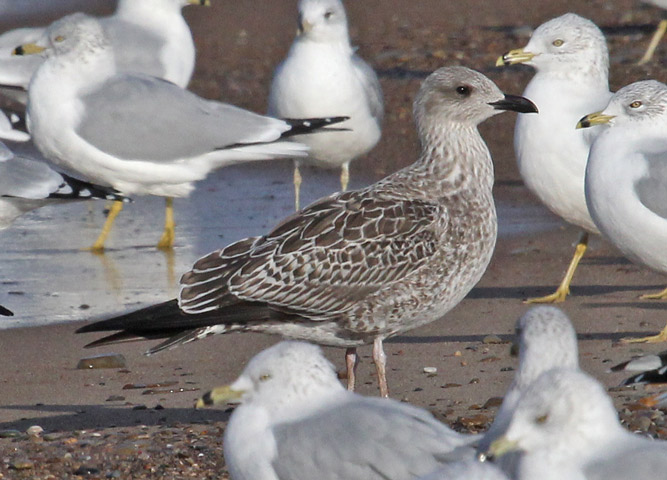 Lesser Black-backed Gull  (MI)