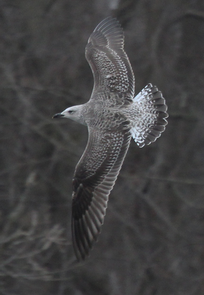 Lesser Black-backed Gull (1st cycle in flight)