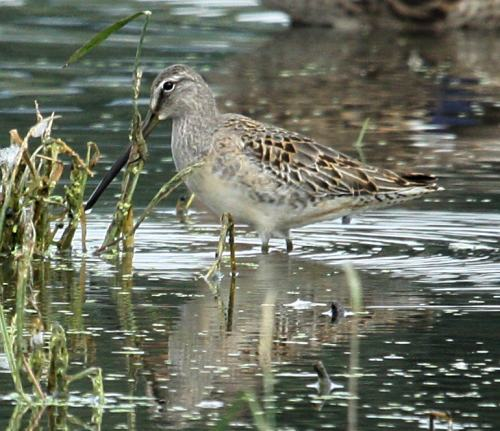 Long-billed Dowitcher (molting juvenile)