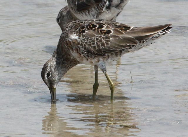 Long-billed Dowitcher (Basic adult)