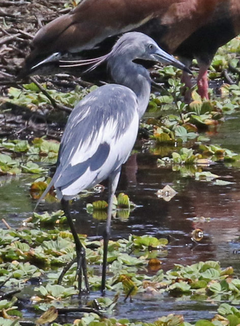 Little Blue Heron (1st cycle)