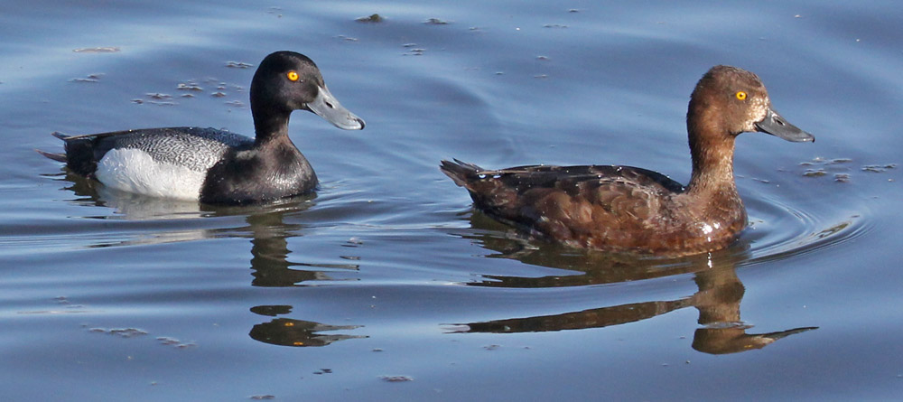 Lesser Scaup photo #4