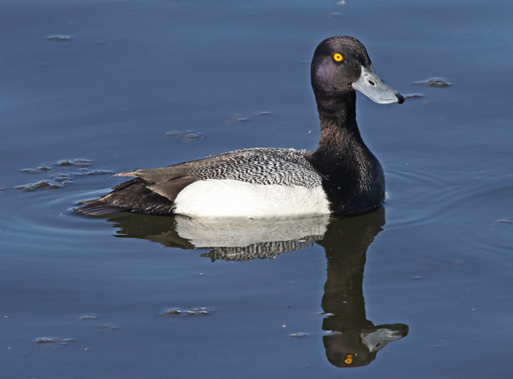 Lesser Scaup photo #2