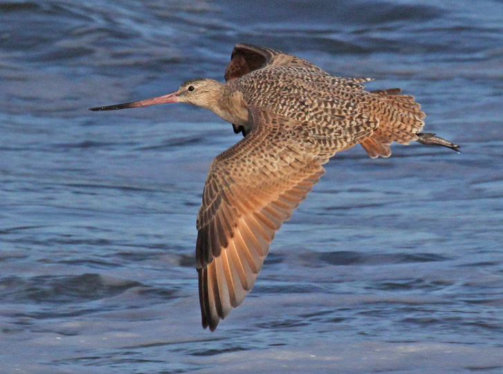 Marbled Godwit (in flight)