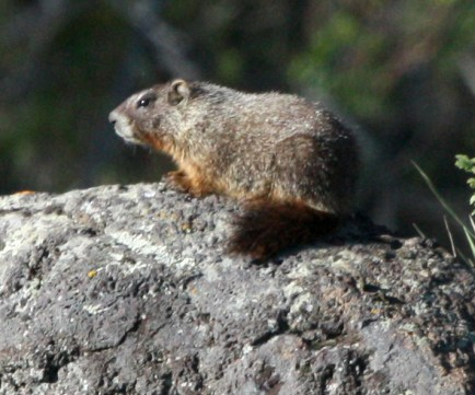 Yellow-bellied Marmot photo 1