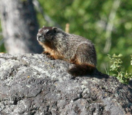 Yellow-bellied Marmot photo 2