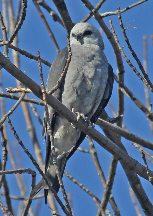 Mississippi Kite (adult) photo #4