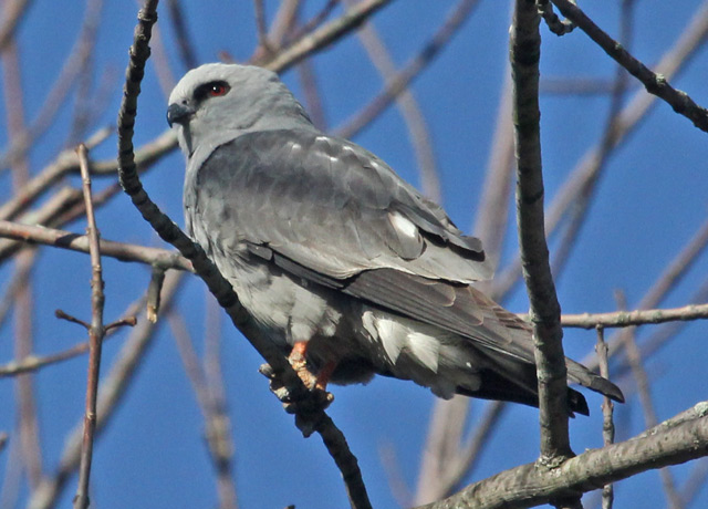 Mississippi Kite (adult) photo #1