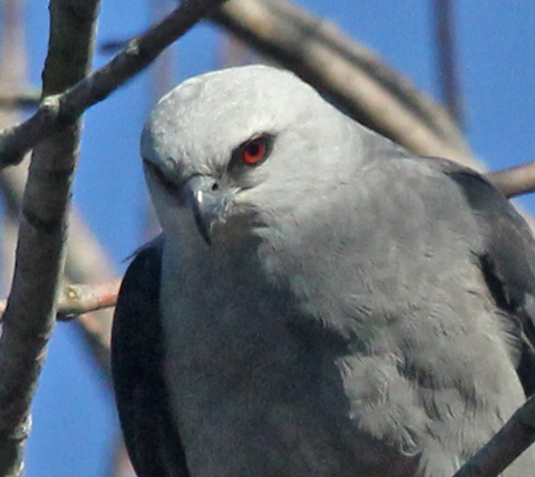 Mississippi Kite (adult) photo #3