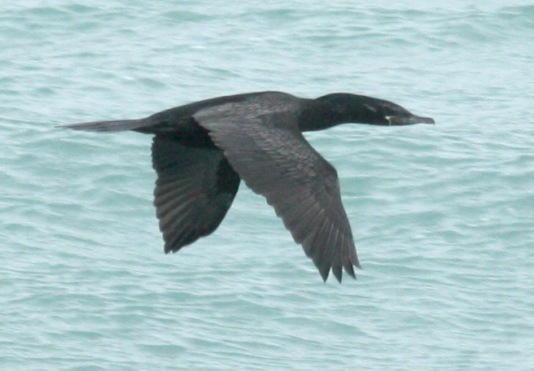 Neotropic Cormorant photo #1