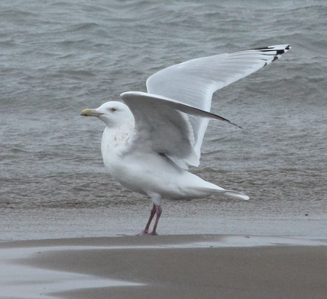 Nelson's Gull (adult)