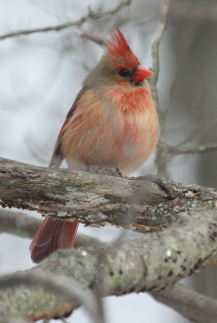 Northern Cardinal (1st winter male)
