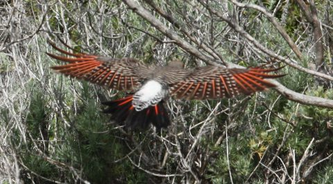 Northern Flicker photo #3