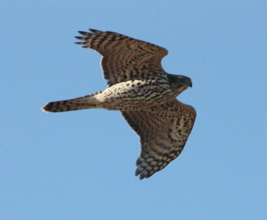 Northern Goshawk photo #2