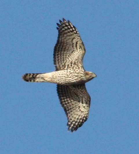 Northern Goshawk photo #1