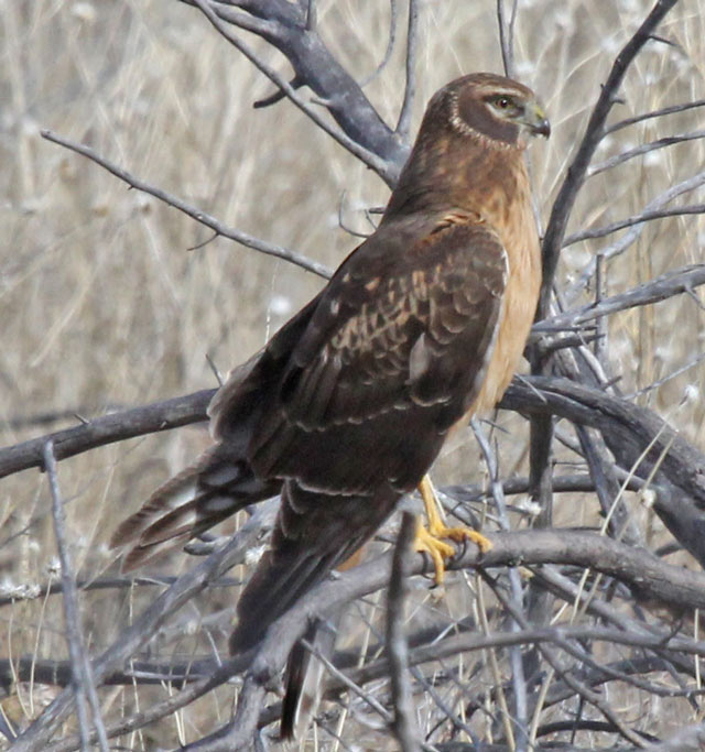 Northern Harrier (juvenile) photo #2